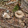 Geastrum_fimbriatum_be3677