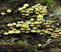 Hypholoma_fasciculare_bt9903