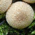 Lycoperdon_pyriforme_am0472