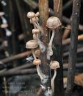 Mycena_belliae_bm8457