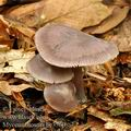 Mycena_diosma_be3360
