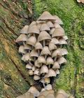 Mycena_inclinata_bp3514