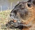 Myocastor_coypus_mc1824