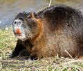 Myocastor_coypus_mc1832