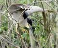 Nycticorax_nycticorax_fc2030