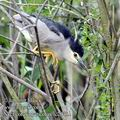 Nycticorax_nycticorax_fc2040