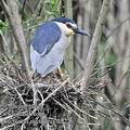 Nycticorax_nycticorax_fc2226