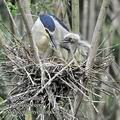Nycticorax_nycticorax_fc2271