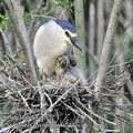 Nycticorax_nycticorax_fc2447