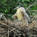 Nycticorax_nycticorax_hb0054