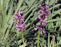 Orchis_picta_11536