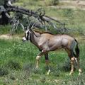 Oryx_gazella_bb3447