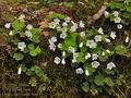 Oxalis_acetosella_br4493