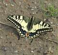Papilio_machaon_ab9208