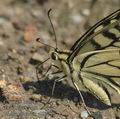 Papilio_machaon_ab9219
