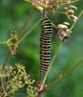 Papilio_machaon_bs6231