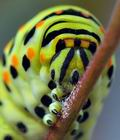 Papilio_machaon_bs6253