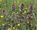Pedicularis_palustris_11538