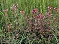 Pedicularis_palustris_11540