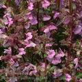 Pedicularis_palustris_ak5683