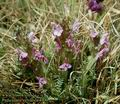 Pedicularis_sylvatica_4900