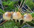 Pholiota_highlandensis_am0933