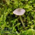 Pluteus_hispidulus_be3346