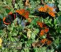Polygonia_c-album_db0815