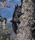 Sciurus_vulgaris_mc0945