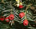 Taxus_baccata_4977