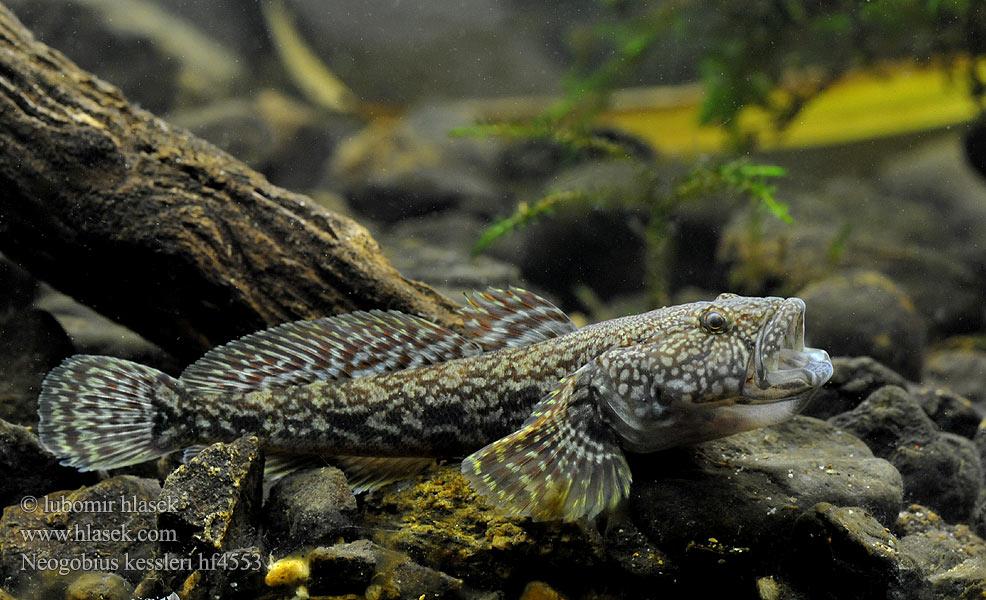 Freshwater gobies of europe interesting to aquarium for Freshwater fish representative species