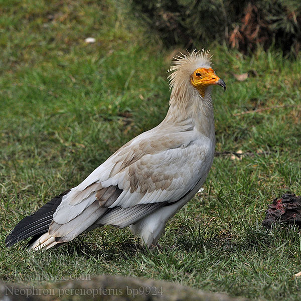 Neophron percnopterus Egyptian Vulture