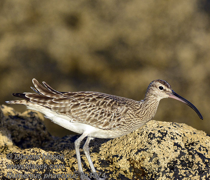 Numenius phaeopus Whimbrel
