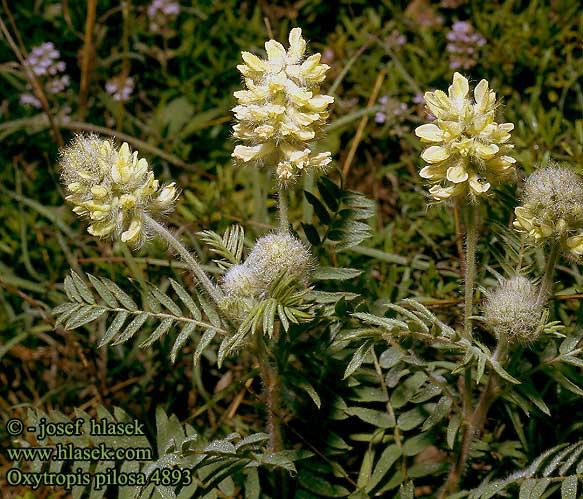 Oxytropis pilosa (Woolly milkvetch) (Astragalus pilosus)