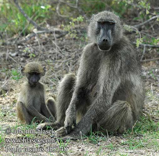 Chacma baboon - photo#8