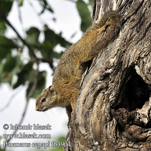 Paraxerus cepapi Smith's Bush Squirrel
