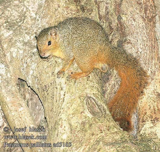 Paraxerus palliatus Red Bush Squirrel Écureuil ventre rouge Roodstaart eekhoorn アカヤブリス Rotschwanzhörnchen Wiewiórka zaroślowa Рыжая белка