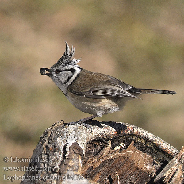 Parus cristatus Kuoduotoji zylė Crested Tit Top-mejse topmejse