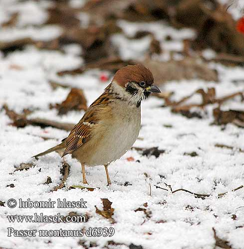 Tree Sparrow Feldsperling Moineau friquet
