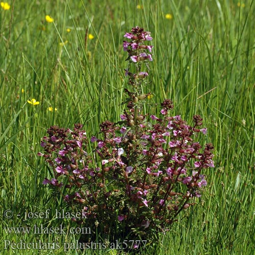 Pedicularis palustris Marsh Lousewort Eng-troldurt