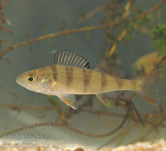 Perca fluviatilis European perch Okoun říční