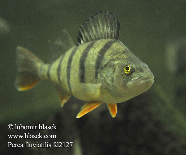 Perca fluviatilis European perch Okoun ???n? Aborre Flussbarsch ...