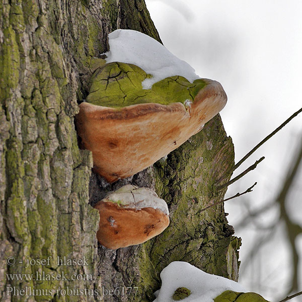 Phellinus robustus be6177