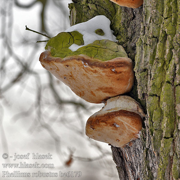 Phellinus robustus be6179