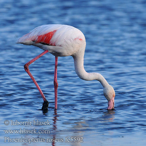 Greater Flamingo פלמינגו Phoenicopterus ruber roseus