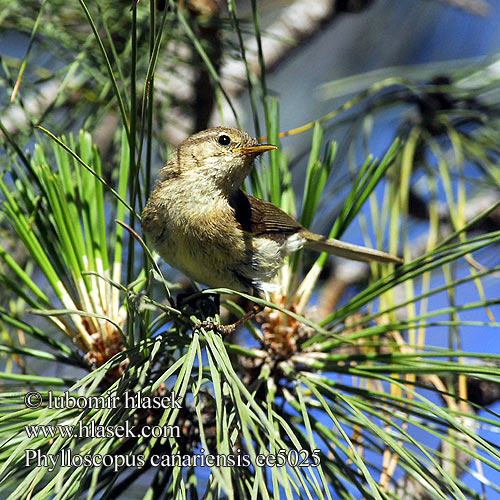 Phylloscopus canariensis Canary Islands Chiffchaff Canarian