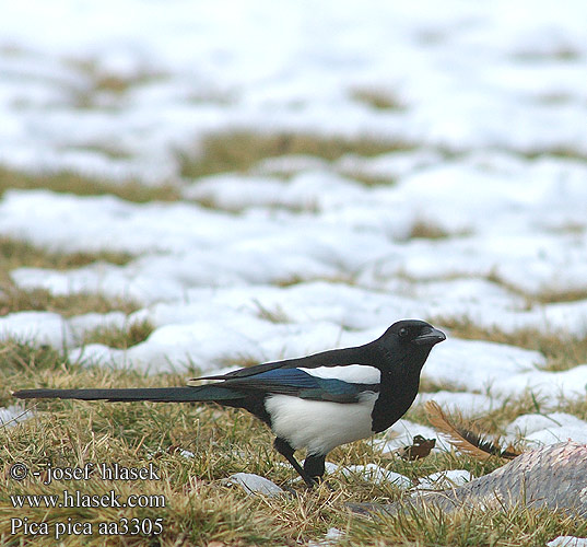 Magpie Black-billed Common Cabaire breac Magaide Meaig