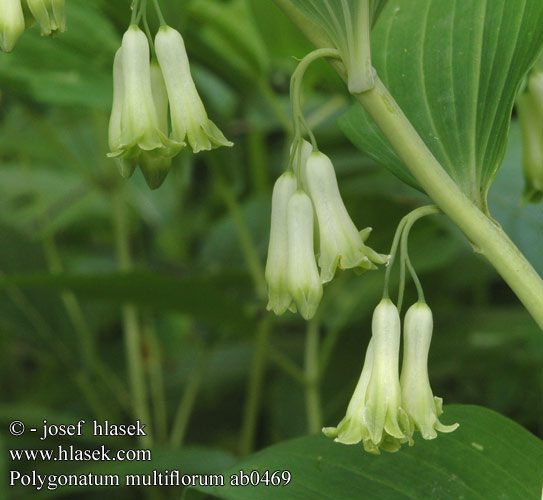Polygonatum multiflorum ab0469