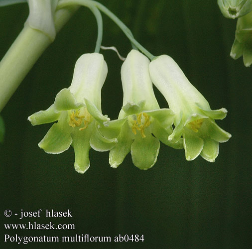 Polygonatum multiflorum ab0484