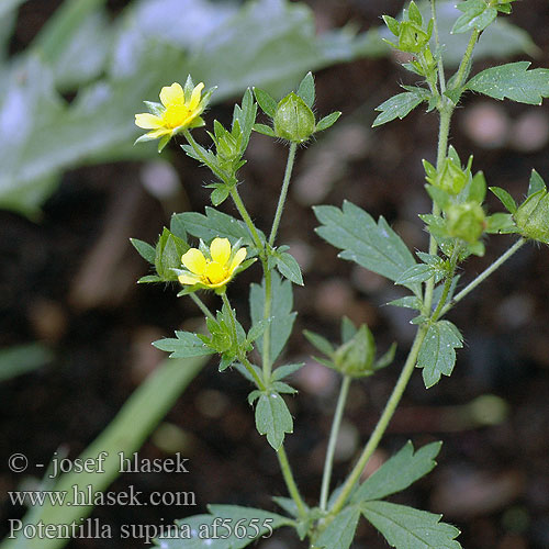 Potentilla supina Niedriges Fingerkraut